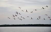 Flying flamingo's