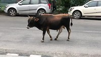 Anyone lost a bull?