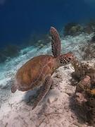 Onderwaterwereld van Bonaire zeeschildpad