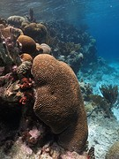 Onderwaterwereld van Bonaire koraal