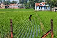 Lokale bevolking aan het werk in de rijstvelden