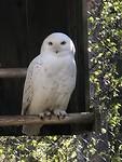 In wildlife park; snowy owl
