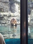 Grizzly bear in Zoo Central park