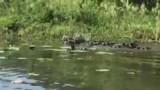 Water Buffalo's!!