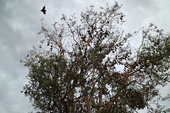 Vliegende Honden in Cairns