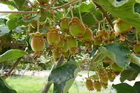 Vruchtbare vallei met onder andere kiwi's, druiven en abrikozen