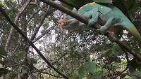 Parson's kameleon, mannetje, pakt sprinkhaan