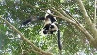 Stoeiende 'Black& White Ruffed Lemurs'
