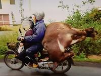 Zomaar even een sfeerbeeld uit Vietnam: achterop de brommer ligt een levende waterbuffel