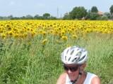 De zonnebloemen kijken het peloton na
