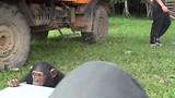 Swinging chimpanzee