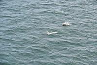 De dolfijnen bij de Amalia Glacier