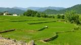 Rijstveld op weg naar Fuman
