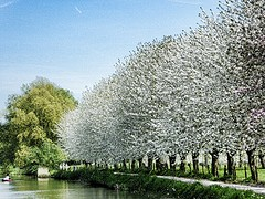 Bloesem langs de Kromme Rijn