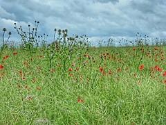 Koolveld met wilde bloemen