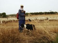 Herder met kudde en vier border collies