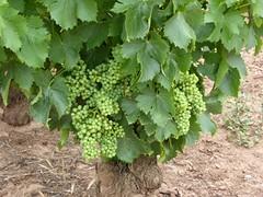Goed jaar voor de Rioja