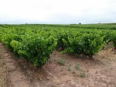 De druiven voor de Rioja groeien niet langs draden
