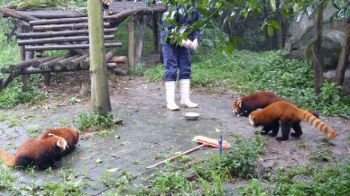 de rode panda's worden gevoederd