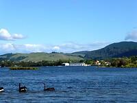 zwarte zwanen in Lake Rotoiti op weg naar Rotorua