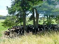 hier schuilen de koeien tegen de zon onder de bomen