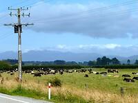 Nederlands landschap met grazende koeien in de wei