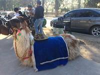 Lama in Salta: we zijn op de Andes!