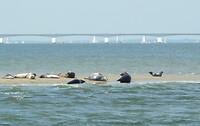 Zeehonden op Vondelingenplaat