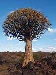 Kokerboom, 200 jaar oud