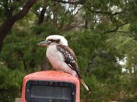 Ijsvogel, Kookaburra
