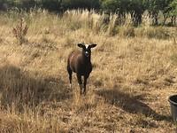 Eerste wildfoto: zwartblesschaap