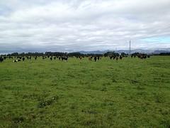 Koppel koeien van demobedrijf