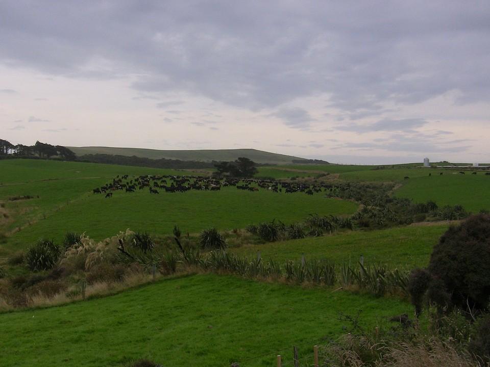 Curio Bay, laagste melkveebedrijf