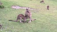 Grijze kangoeroe met joey