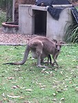Roo 'n Joey in pouch
