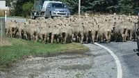 merino schapen