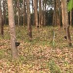 Plantage met rubber bomen.