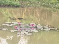 Prachtige waterlelies