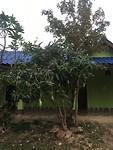 En aan deze boom groeien dan de mango,s aan