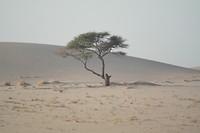 Boom in Woestijn