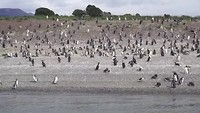 Pinguins aan Beaglekanaal