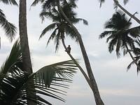 Kokosnoten worden uit de boom gehaald.