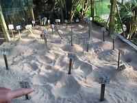 De schildpadeieren liggen begraven onder het zand.