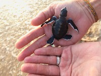 Schildpad 1 dag oud.