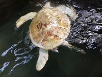 Albino schildpad.