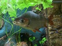 Arme grote vis