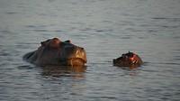Er waren ook verschillende jonge nijlpaarden.