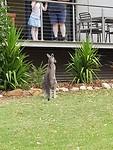 Kangaroo in de voortuin bij de buren