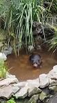 Tasmaanse duivel in het water