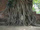 Boeddha hoofd in de wortels van een boom